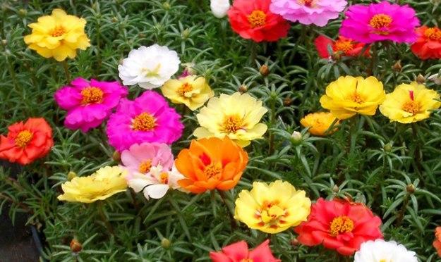 Hạt giống hoa mười giờ mỹ nhiều màu