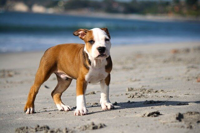 How to Stop Your Pitbull Puppy From Biting , Tips You Didn't Know !