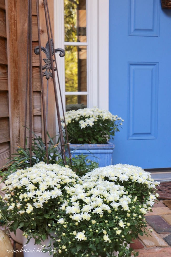 Fall Front Entry Garden With White Chrysanthemums on brick front porch with blue front door