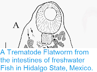 https://sciencythoughts.blogspot.com/2015/03/a-trematode-flatworm-from-intestines-of.html
