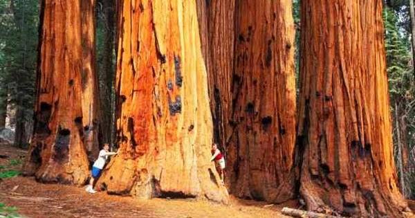 wOndor.blogspot.com: Giant Redwood Trees (20 pics)