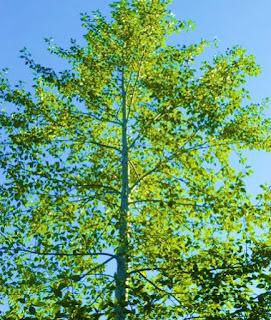 western-balsam-poplar