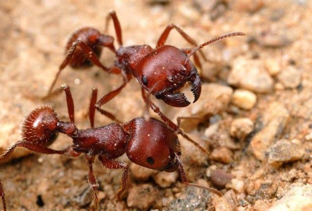 Formiga colhedora maricopa
