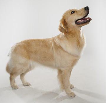 Golden retriever breed characteristics