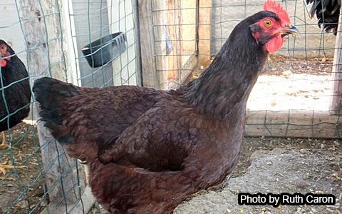 Rhode Island Red Chicken History & Breed Profile