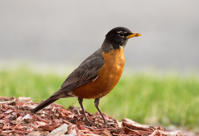 American Robin - Detroit, Michigan, USA