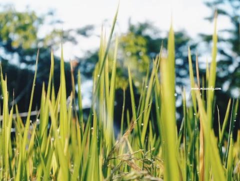 Wisata Edukasi Salak Pondoh dan Susur Sungai di Desa Pancoh