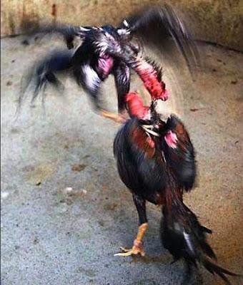 Ayam Siam Shamo Di Jepang GAMECOCK ROOSTER BANGKOK SABUNG AYAM