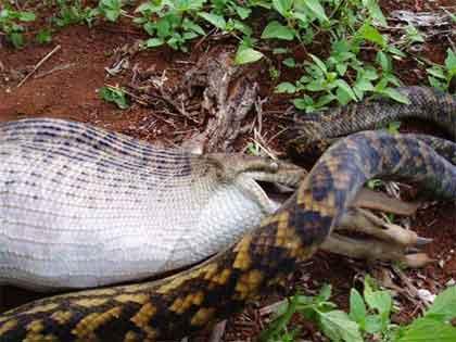 Anaconda Snake Eating Alligator