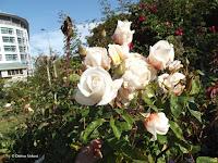Anna Olivier rose - Christchurch Botanic Gardens, New Zealand