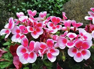 Gambar Bunga Geranium