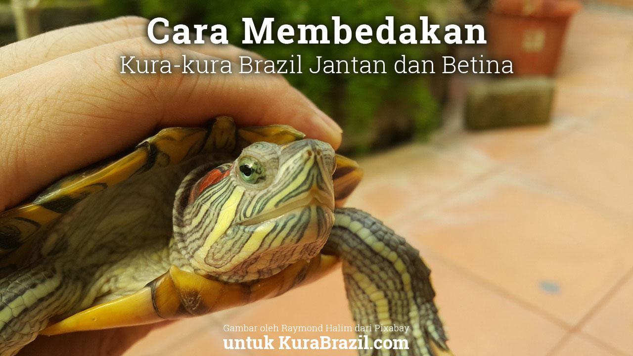 Cara Membedakan Kura-kura Brazil Jantan dan Betina