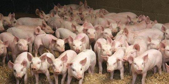 Kemenkes Khawatir Flu Babi Akan Jadi Pandemi