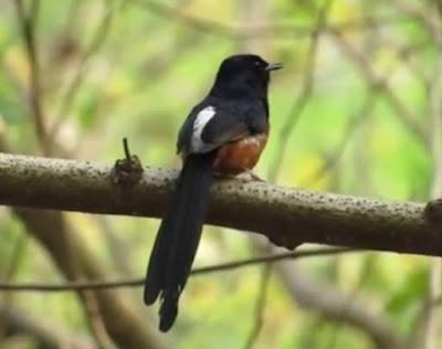 Pemilihan Dan Ciri Ciri Burung Murai Batu Muda Hutan Yang Termasuk Kriteria Bagus Untuk Di Lombakan Terlengkap
