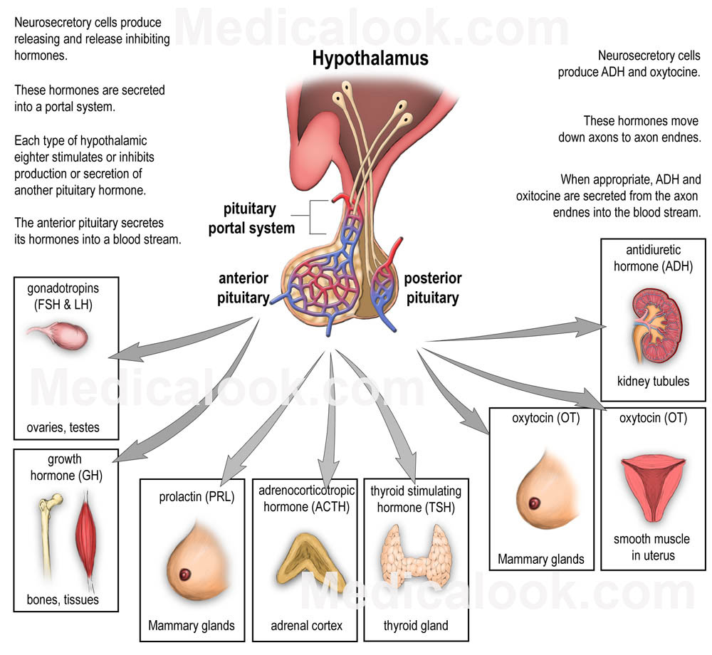hypothalamus and posterior pituitary relationship to thyroid