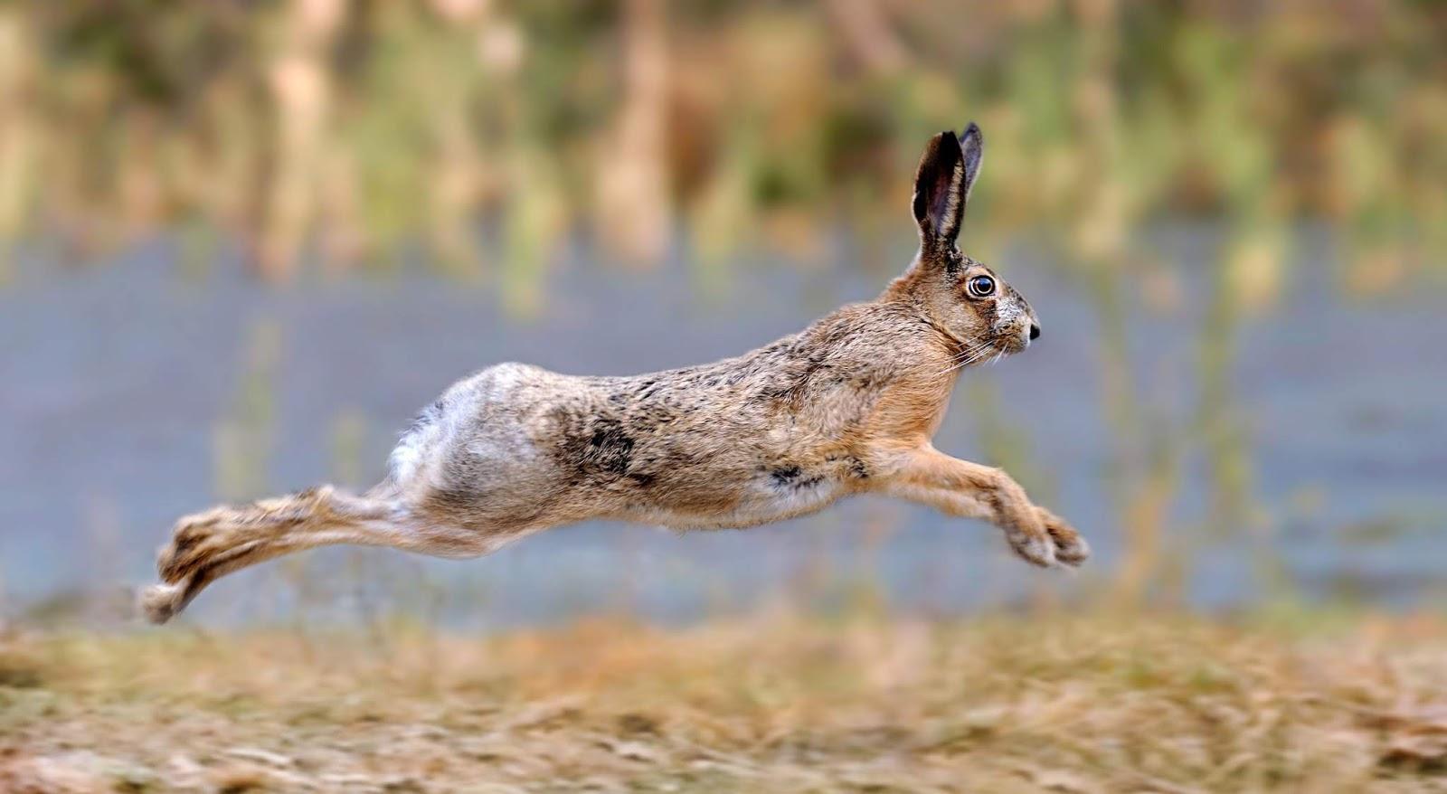 Coelhos e Lebres | Leporidae
