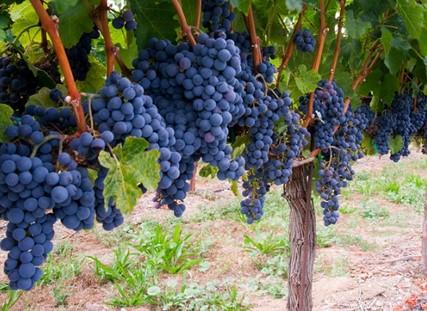 Wisata Anggur