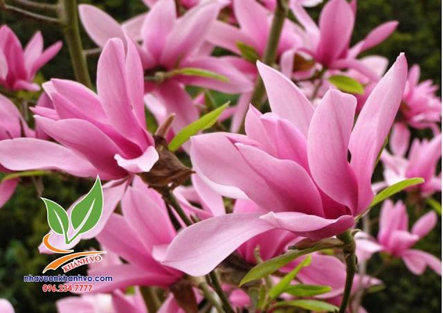 Giống hoa mộc lan tại nhà vườn Khánh Võ không chê vào đâu được.