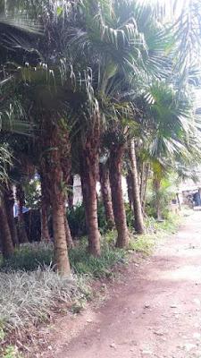 Jual Pohon Palem Sadeng Sinensis | Jual Aneka Pohon Palem | Jasa Tukang Taman Dibogor