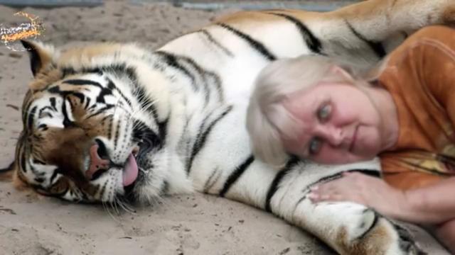 harimau tidur