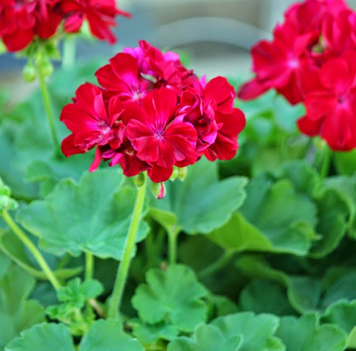 Putting gardens to bed cozy little house - Overwintering geraniums tips ...