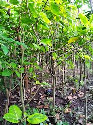 Kami menyediakan besar pohon dalam jumlah partai maupun eceran