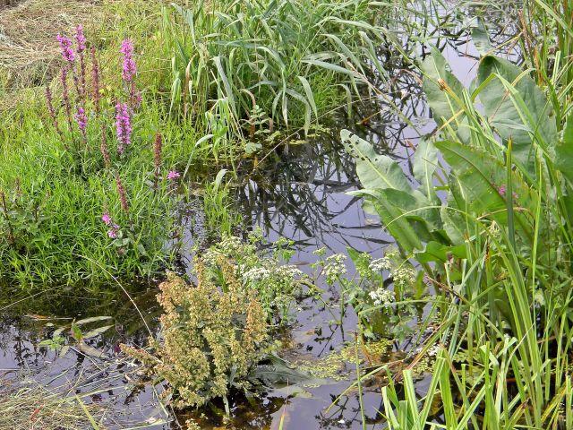 rośliny mokradeł, tereny podmokłe, zioła