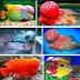 Mengenal Beberapa Jenis Ikan Louhan Populer