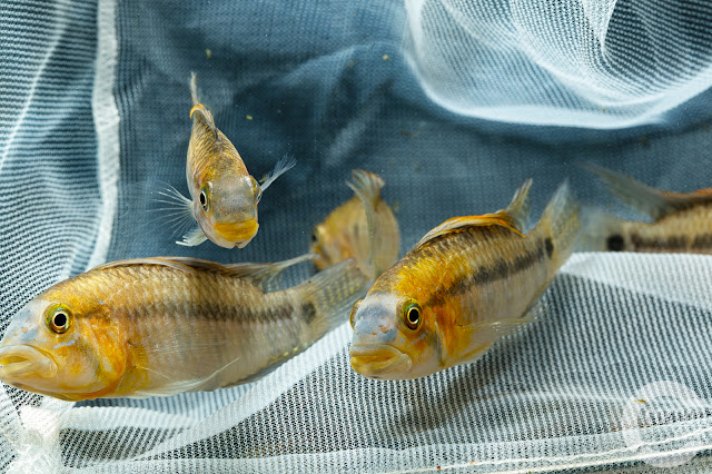 Apistogramma cf. personata (Orange)