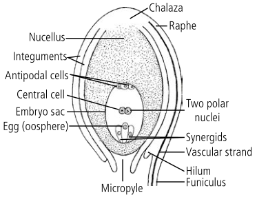 anatropous ovule