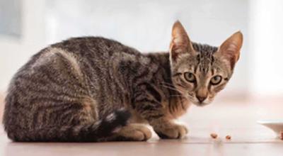 Kucing Jawa