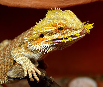 Bearded Dragon atau Pogona