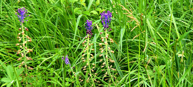 Tassle Hyacinth Leopoldia comosa.  Indre et Loire, France. Photographed by Susan Walter. Tour the Loire Valley with a classic car and a private guide.