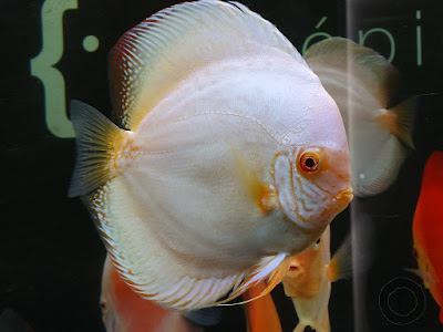 Harga Ikan Discus White Butterfly