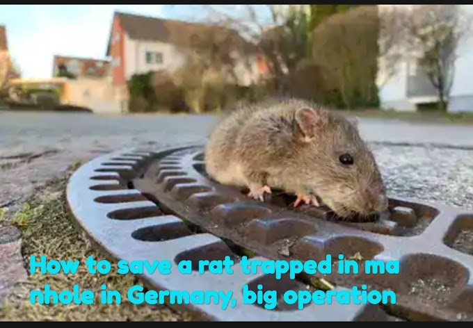 Omg..How to save a rat trapped in manhole in Germany, big operatio