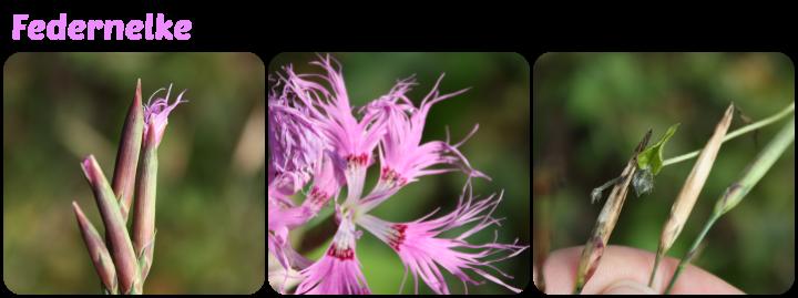 Knospe, Blüte und Samnstand der Federnelke