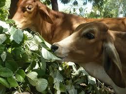 El ramoneo también esta presente en los bovinos