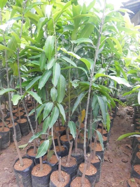 mangga golek | tanaman mangga golek | bibit mangga golek | budidaya mangga golek | menanam mangga golek | cara merawat pohon mangga
