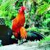 Ayam-Ayam 100% Asli Indonesia