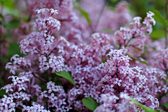 Lilac flowers in British spring - UK lifestyle blog