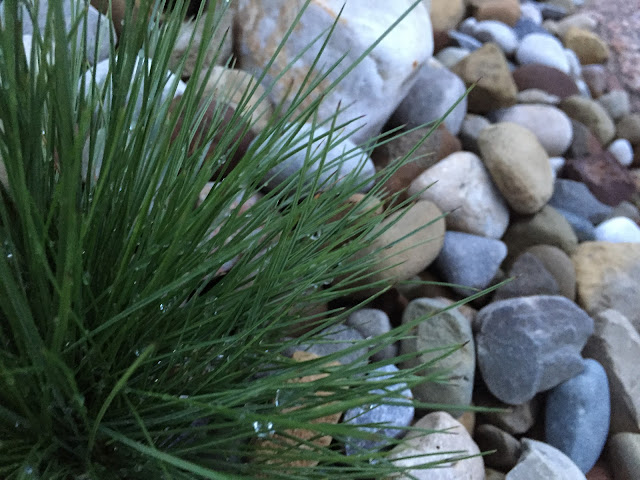 Dark Green Festuca Clump