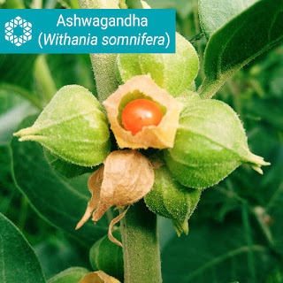 Ashwagandha is an adaptogen, which means it works by helping restore the body's natural balance and helps fight the negative effects of chronic stress.