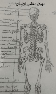 الهيكل العظمى للإنسان