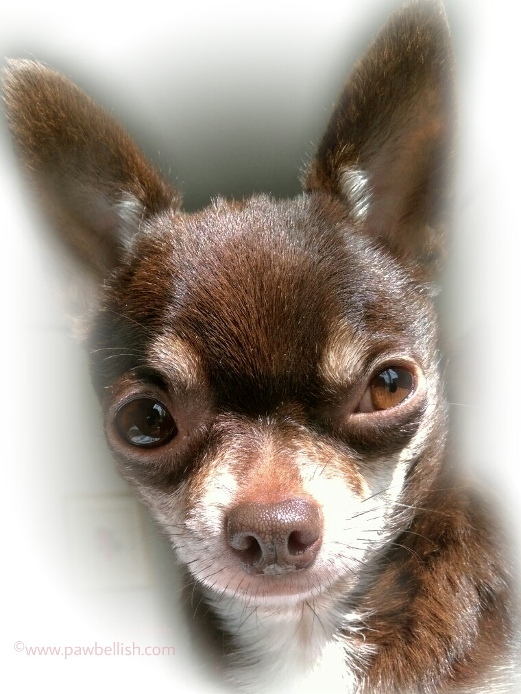 Tootsie The Chi, my dog has allergies