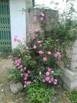 mua hoa hồng quế kép