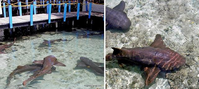 Tubarões-gato no Aquário San Martín, Ilhas do Rosário, Colômbia