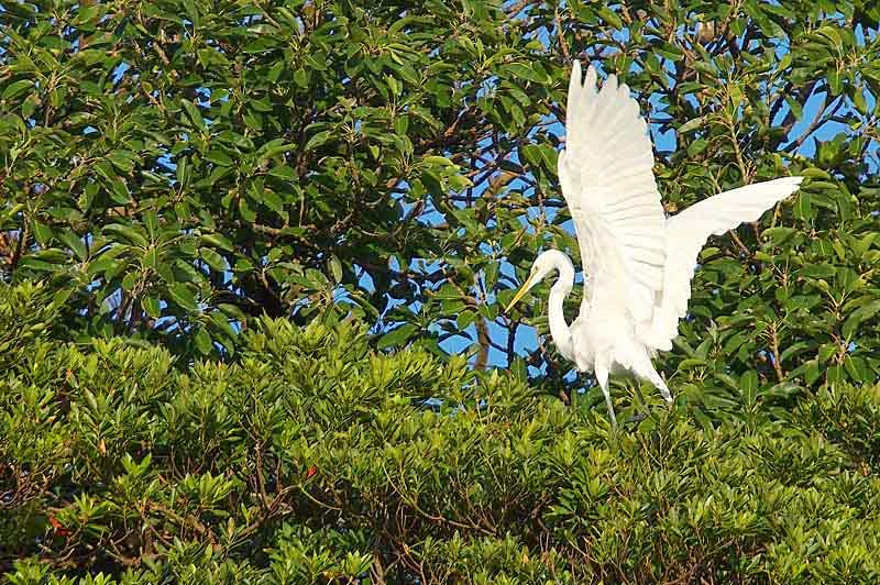 egret with wings spread