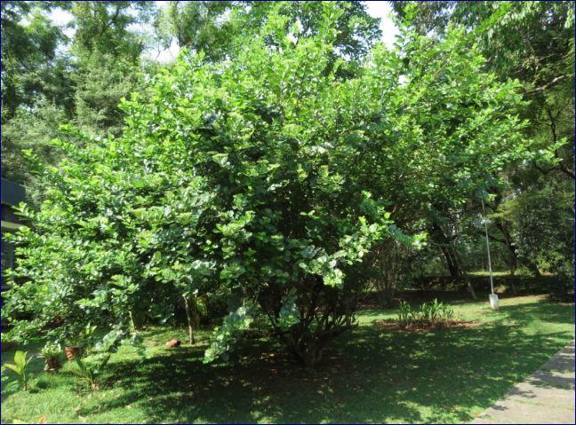 Premna serrativeolia or Wahong