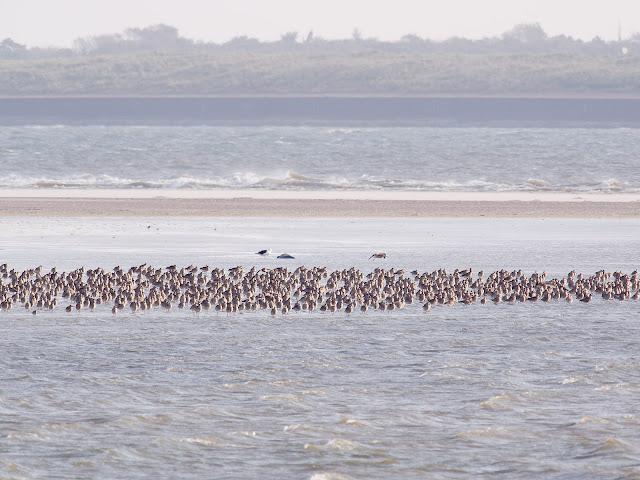 Watvögel auf einer Sandbank. Im Hintergrund Spiekeroog. Ich vermute Brachvögel und eine Mantelmöwe (600mm, f/8, 1/250sek., ISO200)