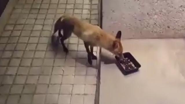 Αλεπού στο κέντρο της Εκάλης